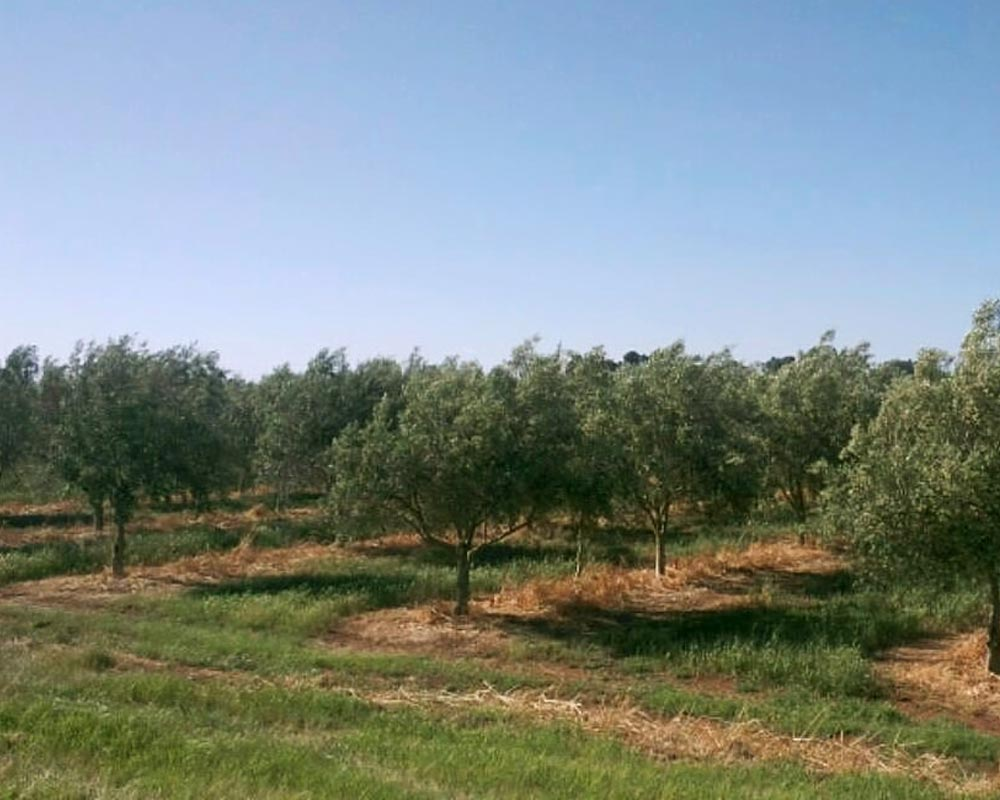 Young olive trees growing neatly in rows