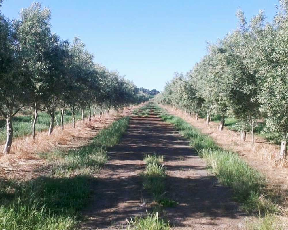 Path between olive groves in full sunlight